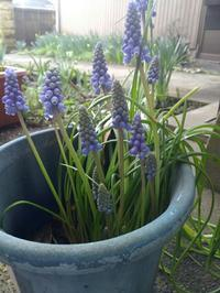 放置したムスカリ咲いた~家の春の庭~ - 日々ニコニコ