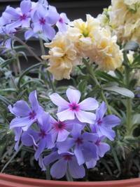 鎮めの青に…。フロックス・ムーディーブルー - bowerbird garden ~私はニワシドリ~