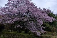 桜休暇 - 撃沈風景写真