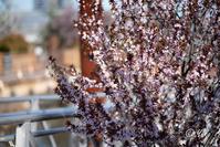 山桜 / Cerasus jamasakura - Seeking Light - 光を探して。。。