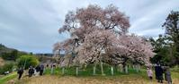 戸津辺の桜@福島県矢祭町 - 963-7837