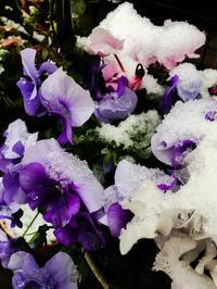 春の雪 - Miwaの優しく楽しく☆