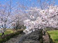 菊池公園、菊池神社の桜photoコレクション 2020 - FLCパートナーズストア