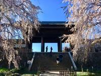 東郷寺 大枝垂れ桜 - 東京いけばな日記 花と暮らしと生活と