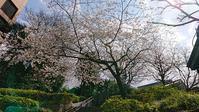 都心の桜、咲き方がおかしい? (2020/3/23、24、27) - わが愛しのXXX。