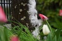 雪景色ハナニラ(花韮)他 - 身近な自然を撮る
