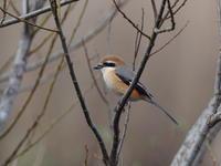 春を待つモズ - コーヒー党の野鳥と自然パート3