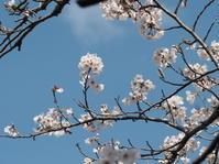 春です桜です - グリママの花日記