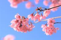 桜:雅 - 都忘れと忘れな草