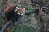 Red PandasInTheSnow - 光りの音   photo gallery