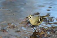 キクイタダキ水浴び ① - 気まぐれ野鳥写真