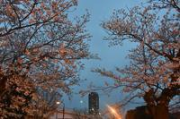 桜2020ヴェルニー公園3月30日薄暮 - 素顔のままで