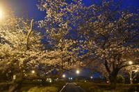桜2020ヴェルニー公園3月30日夜へ - 素顔のままで