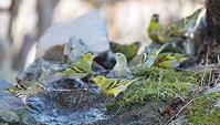 3密は避けようよ2…マヒワ - 上州自然散策3
