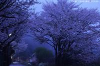 静寂の桜 - PTT+.