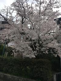 お花見は諦めて - 京都西陣 小さな暮らしから、田舎暮らしへぼちぼち・・・