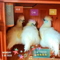 生後100日目の烏骨鶏 - 烏骨鶏かわいいブログ