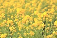 菜の花 - 都忘れと忘れな草