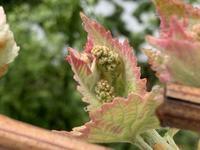 葡萄の花芽と薔薇ボレロ - いととはり