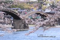 橋と、桜 - Select