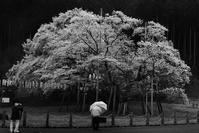 薄墨桜2020 - 父ちゃん坊やの普通の写真その3