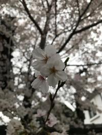 '20 桜。 - talk