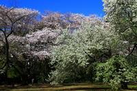 新宿御苑の桜 - お散歩写真     O-edo line