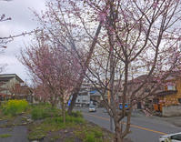 桜と輪渡颯介3月31日(火) - しんちゃんの七輪陶芸、12年の日常