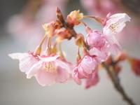陽光桜 - MPG