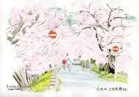 加茂川畔の桜 - 風と雲