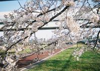 桜とスカイツリー / 写ルンです - minamiazabu de 散歩