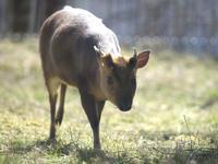 春のキョン - 動物園放浪記