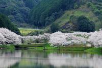 庭木の桜Ⅰ - きずなの家創り