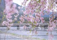 そうだ京都に行こう 嵐山の桜を撮ろう sony α7II + SEL70200G 実写 - さいとうおりのお気に入りはカメラで。