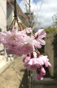 桜、咲く - LaBlanche