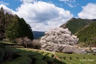 美杉の桜 - toshi の ならはまほろば