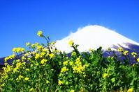 令和2年3月の富士(24)御殿場の菜の花と富士 - 富士への散歩道 ~撮影記~