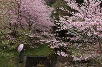 市川の桜 - ecocoro日和