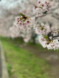 近所の桜が満開を迎えました。 - 魔王の独り言 続編