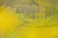 菜の花色の列車 - GreenLife