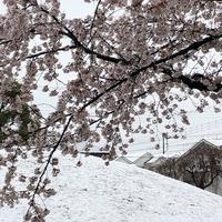 今年の桜 - 仕事・子育て・家事のテンコ盛り生活