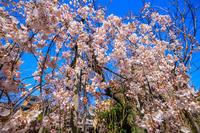 Opening!2020桜咲く京都長建寺のしだれ桜 - 花景色-K.W.C. PhotoBlog