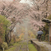しとしと雨と桜 - PTT+.