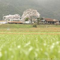 旅路を見守る桜 - PTT+.