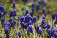 春の花(4) 青い花赤い花 (2020/3/26撮影) - toshiさんのお気楽ブログ