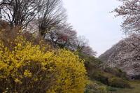 春の花(6) 黄色い花 (2020/3/27撮影) - toshiさんのお気楽ブログ