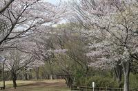 ■サクラ散る?20.4.1 - 舞岡公園の自然2