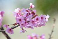 陽光桜とメジロ - 季節の映ろひ