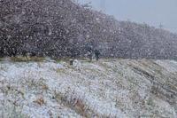 多摩川・雪の桜並木 - 萩原義弘のすかぶら写真日記