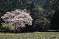 鍛治島の桜 - ecocoro日和